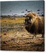 Muskox Ovibos Moschatusin The Northwest Canvas Print