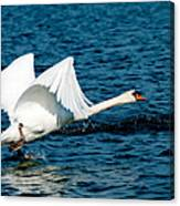 Mute Swan Gaining Momentum Canvas Print