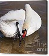 Mute Swan Grooming In Shallow Water 2 Canvas Print