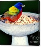 My Painted Bunting Canvas Print
