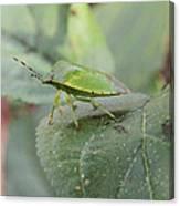 My Pretty Green Stink Bug Canvas Print