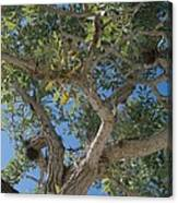 Naples Tree Canvas Print