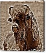 Napping Bison Canvas Print