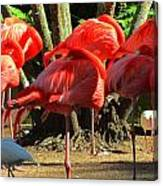 Napping Flamingoes Canvas Print