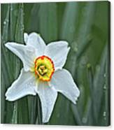Narcissus In The Rain Canvas Print