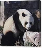 National Zoo Panda Canvas Print