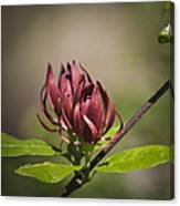 Native Sweetshrub Canvas Print