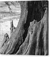 Natural Cypress Canvas Print