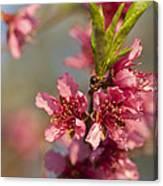 Nectarine Blossoms Canvas Print