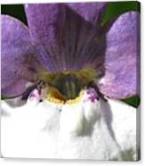 Nemesia From The Tapestry Mix Canvas Print