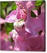 Nemesia Named Poetry Lavender Pink Canvas Print