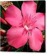 Nerium Oleander Pink Canvas Print