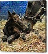 New Born Foal Canvas Print