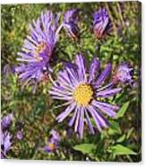New England Aster Wildflower - Purple Canvas Print