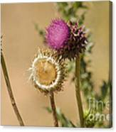 New Mexico Thistle II Canvas Print