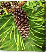 New Pine Canvas Print