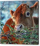 New Years Morning Cow Canvas Print