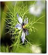 Nigella Flower Canvas Print