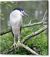 Night Heron On Branch Canvas Print
