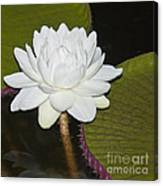 Nocturnal Blossom Of Victoria Lily Canvas Print