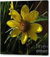 Nodding Bur Marigold Canvas Print