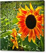 Noontime Sunflowers Canvas Print
