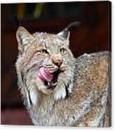 North American Lynx Canvas Print