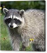 North American Raccoon Canvas Print
