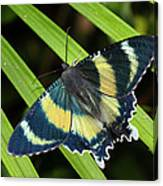 North Queensland Day Moth Alcides Canvas Print