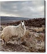 North York Moors Sheep Canvas Print