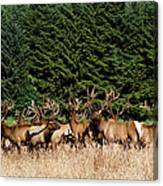 Northcoast Elk Along The 101 Canvas Print
