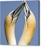 Northern Gannet Morus Bassanus Pair Canvas Print