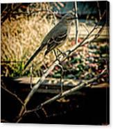 Northern Mockingbird On The Highline Canvas Print