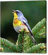 Northern Parula Parula Americana Male Canvas Print