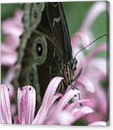 Northern Pearly-eye On Pink Canvas Print
