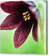 Northern Rice Root Fritillaria Canvas Print