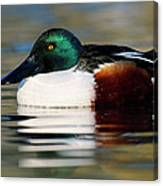Northern Shoveler Anas Clypeata Male Canvas Print