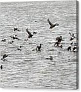 Northern Shoveler Duck - 0006 Canvas Print