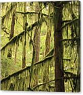 Northwest Mossy Tree Canvas Print