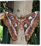 Not A Butterfly But An Atlas Moth Canvas Print