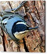Nuthatch Heading Down Canvas Print