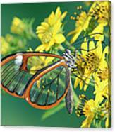 Nymphalid Butterfly Pteronymia Sp Canvas Print
