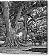Oak Alley Backyard Monochrome Canvas Print