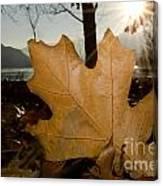 Oak Leaf In Backlight Canvas Print