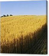Oat Crops On A Landscape, County Dawn Canvas Print