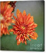 October Mums Canvas Print