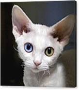 Odd-eyed Kitten Canvas Print