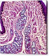 Oesophagus Wall, Light Micrograph Canvas Print