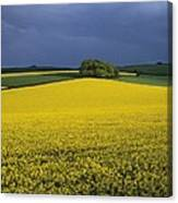 Oilseed Rape Crop (brassica Napus) Canvas Print