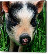 Oink-ing It Up... Canvas Print